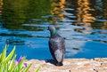 Free Pigeon Next To A Lake Royalty Free Stock Image - 5089726