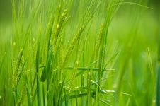 Free Wheat Spikes On Green Land Royalty Free Stock Photo - 5081655