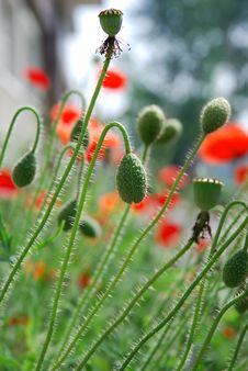 Poppy Flowers And Buds Stock Photos