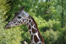 Free Giraffe Royalty Free Stock Image - 5082056