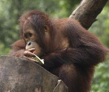 Free Baby Orang Utan Stock Image - 5082791