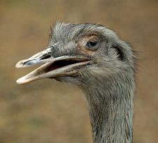 Free Emu Royalty Free Stock Images - 5082849