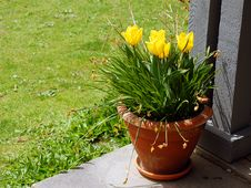 Free Daffodils In Brown Pot Stock Photography - 5083372