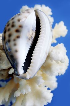Toothed Shell Stock Images