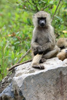 Free Baboon Posing Royalty Free Stock Photography - 5083767