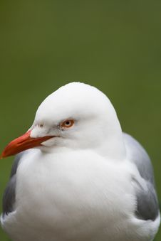 Free Silver Gull (Larus Novaehollandiae) Royalty Free Stock Photo - 5084005
