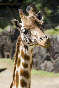 Free Closeup Of A Giraffe Head Royalty Free Stock Images - 5084029