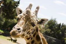 Free Closeup Of A Giraffe Head Stock Photography - 5084052