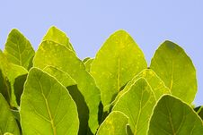 Free Green Leaves Against The Sun Royalty Free Stock Photo - 5084115