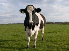 Free Cows On Farmland Royalty Free Stock Image - 5084146