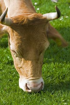 Free Cow Royalty Free Stock Photos - 5084208