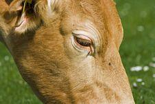 Free Cow Eye Royalty Free Stock Photo - 5084285