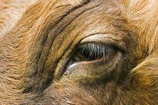 Free Cow Eye Royalty Free Stock Photo - 5084325