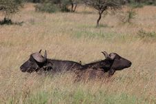 Free Two Cape Buffalo Stock Photo - 5084340