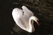 Free White Swan On Black Lake Royalty Free Stock Photography - 5084427