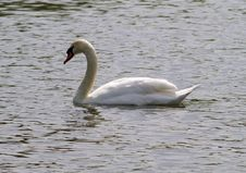 Free Swan Royalty Free Stock Photos - 5084648