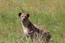 Free Spotted Hyena Royalty Free Stock Photo - 5084725