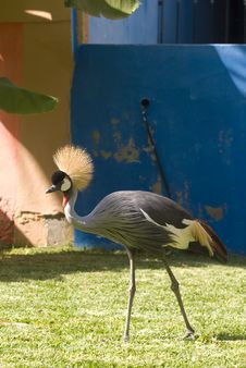 Free Grey Crowned Crane (Close-up) Stock Images - 5084814