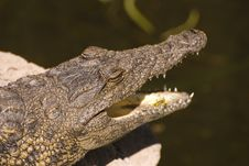 Head Of An Alligator (Alligator Mississippiensis) Stock Image