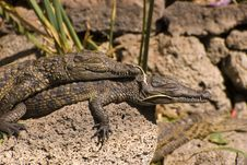 Free Two Small Alligators (Alligator Mississippiensis) Stock Photography - 5084832