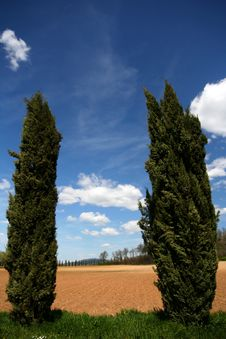 Free Two Cypresses Stock Photography - 5084992