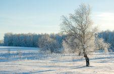 Free White Birch .. Stock Photo - 5085230