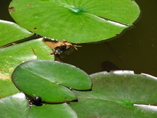 Frog Peeking Out Stock Photography