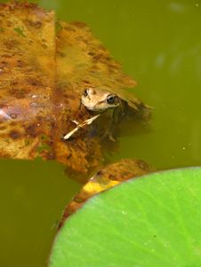 Free Frog Hiding In Plain Sight Stock Image - 5085801