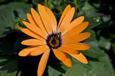 Free Orange Flower Green Fly Royalty Free Stock Images - 5086809