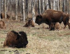 Free Bison Herd Royalty Free Stock Image - 5087956