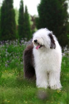 Free English Old Sheepdog Royalty Free Stock Photography - 5089187