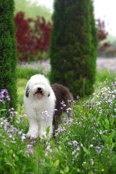 Free English Old Sheepdog Royalty Free Stock Photography - 5089247