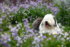Free English Old Sheepdog Royalty Free Stock Images - 5089279