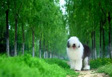 Free English Old Sheepdog Stock Photo - 5089290