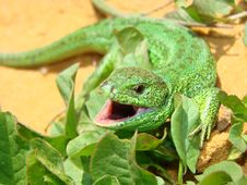 Free Lizard Royalty Free Stock Images - 5089339