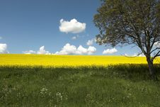 Free Tree And Oil Rape Fields Royalty Free Stock Image - 5089516