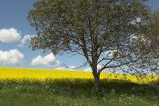 Free Oil Rape Field And Tree Stock Photos - 5089603