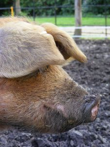 Free Pig Head Stock Photos - 5089823
