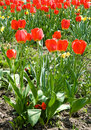 Free Red Tulips Royalty Free Stock Image - 5090646