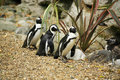 Free Black Footed Penguins Stock Images - 5093344