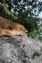 Free Lion On Rock At Simba Kopjes Royalty Free Stock Image - 5094956