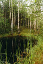 Free Birch Wood On Coast Of Lake. Stock Photo - 5098270