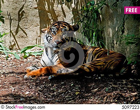 Free Tiger Stock Photos - 5097223
