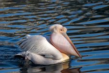 Free Swimming Pelican Royalty Free Stock Images - 5090419