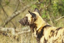 Free Wild Dog Watching Prey Royalty Free Stock Photos - 5090498