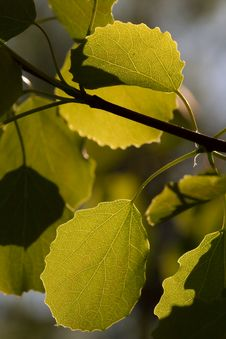 Free Aspen Leaves Stock Image - 5090891