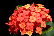 Free Lxora Chinensis Flowers Stock Image - 5091101