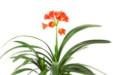 Free Red Amaryllis. Stock Photos - 5091263