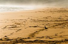 Free Seagull On Sand Royalty Free Stock Image - 5091416