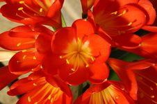 Free Red Amaryllis. Royalty Free Stock Photo - 5091515